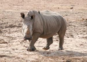 Rhinocéros au Pilanesberg