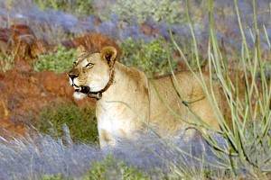 Lionne du désert namibien avec collier de radio-traquage