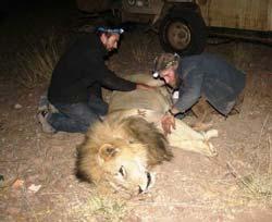 anesthésie d'un lion